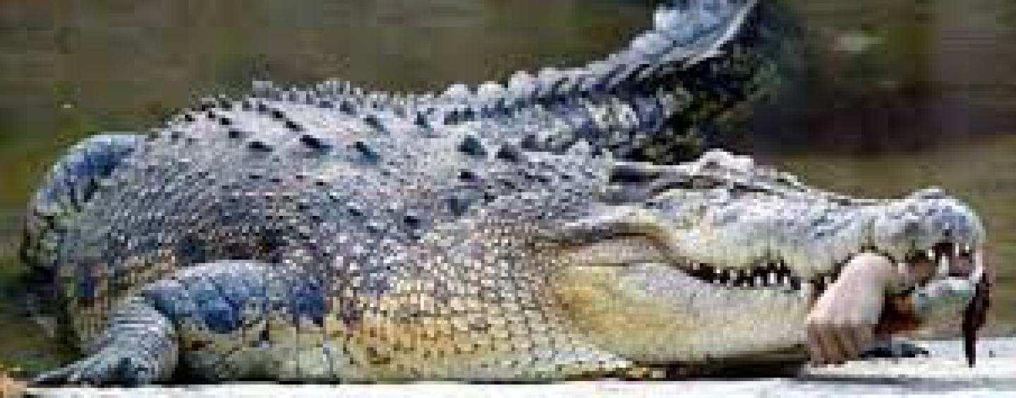 Man Eaten Alive By Crocodile In Front Of His Family, Police Later Find His Remains Inside Of The Animal! (Video)