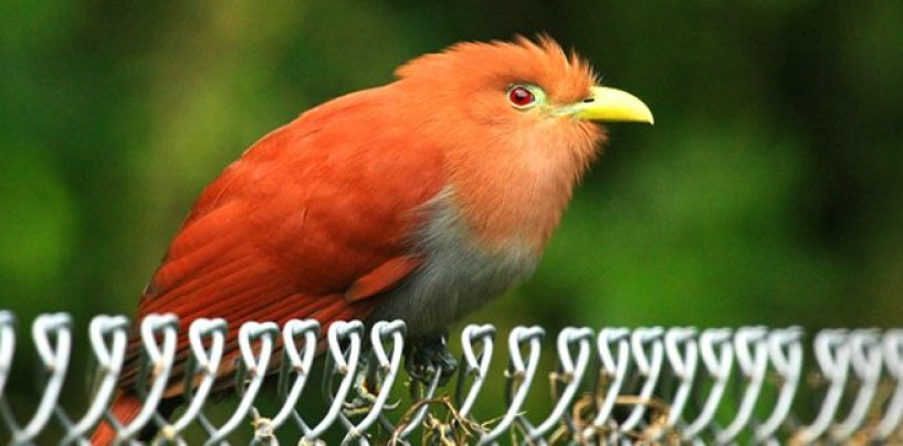 ATW Cuckoo Bird Takes Phone Calls & Rewrites History! Evidence For Later! (Video)